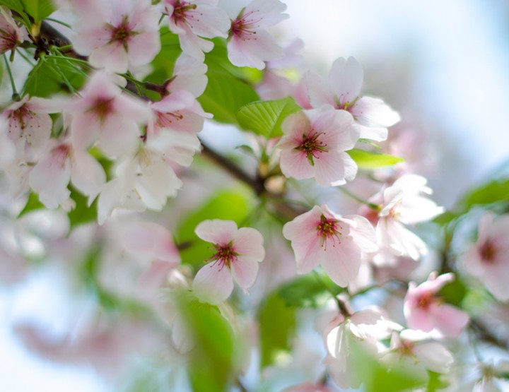 Washington DC - Pretty Cherry Blossoms