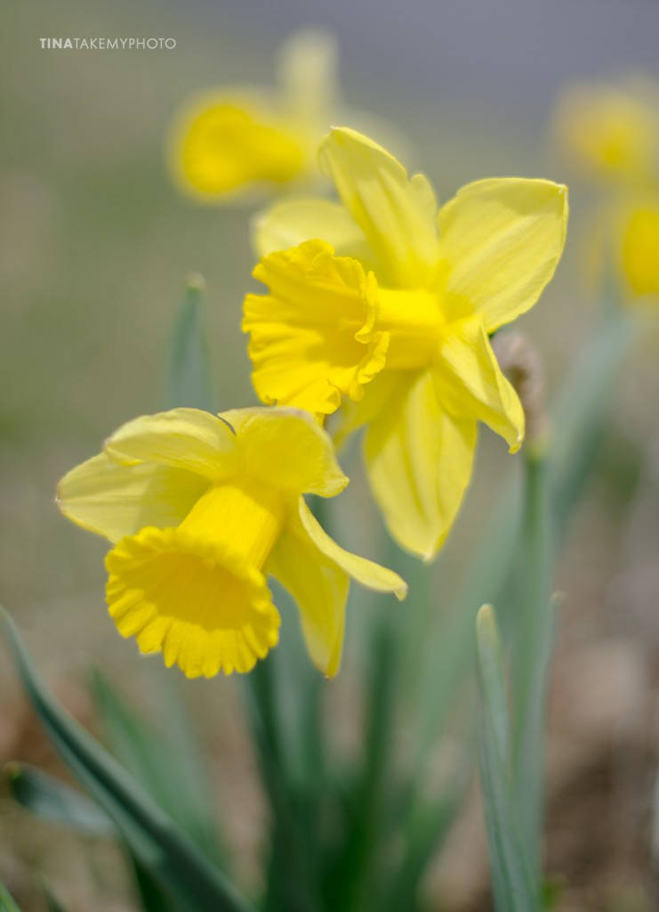 Spring-Daffodil-Virginia-Tina-Take-My-Photo-4