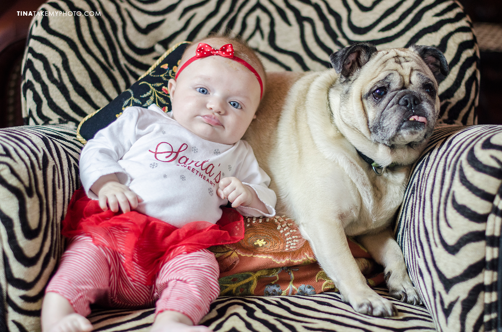 Pug-Dog-Portrait-Zebra-Print-Pet--Family-Baby-Girl-Photography-Richmond (1)