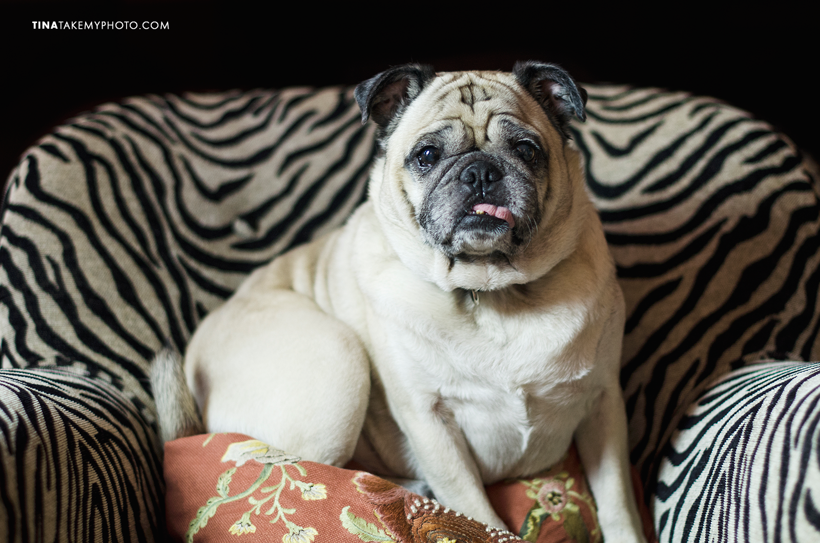 Pug-Dog-Portrait-Zebra-Print-Pet-Photography-Richmond (1)